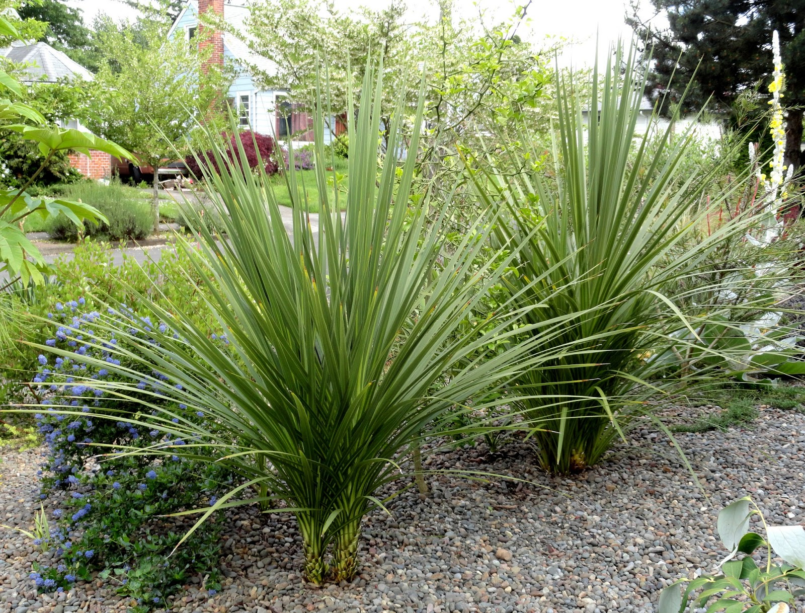 Danger garden the cordylines my favorite plant in the for Large garden plants