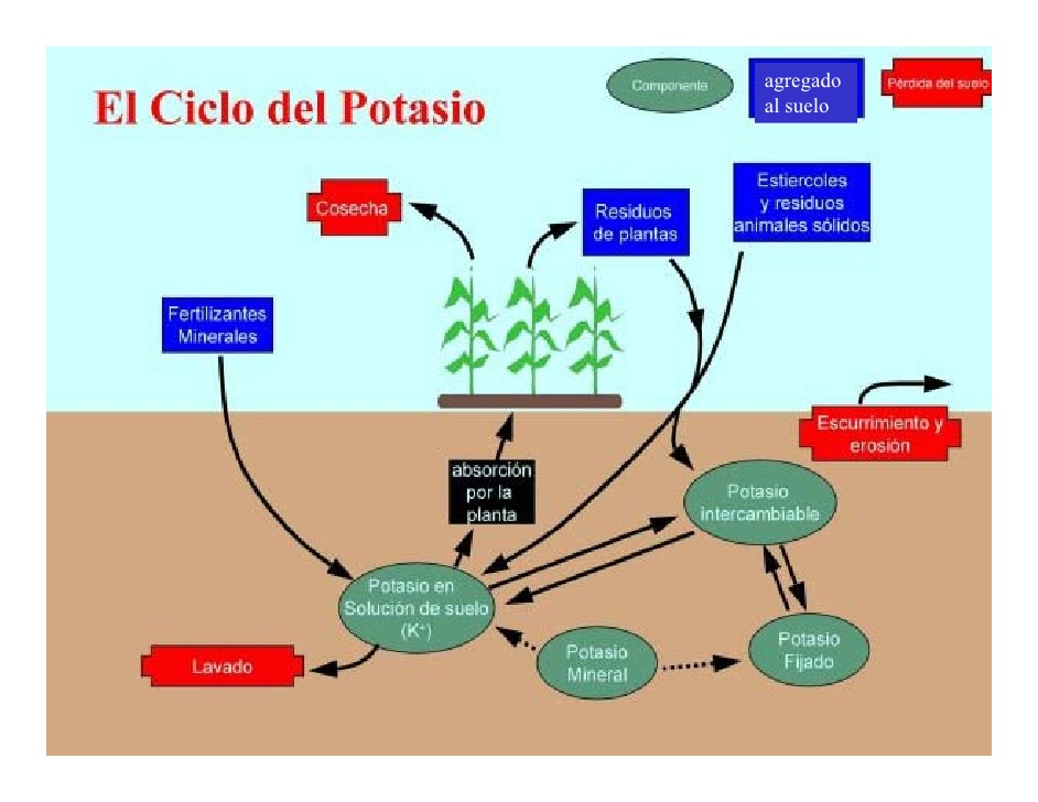 Fundamentos de la ciencia importancia de la vida en el for Potasio para plantas