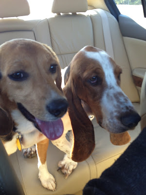 beagle and basset