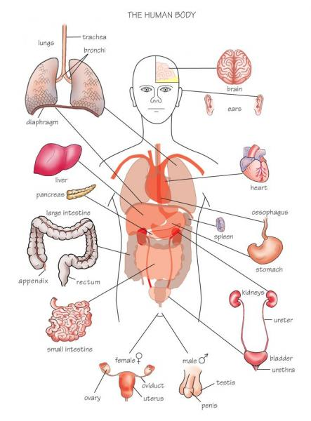 Funny Pictures Gallery  Organs  Internal Organs Diagram