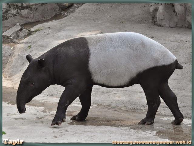 gambar tapir
