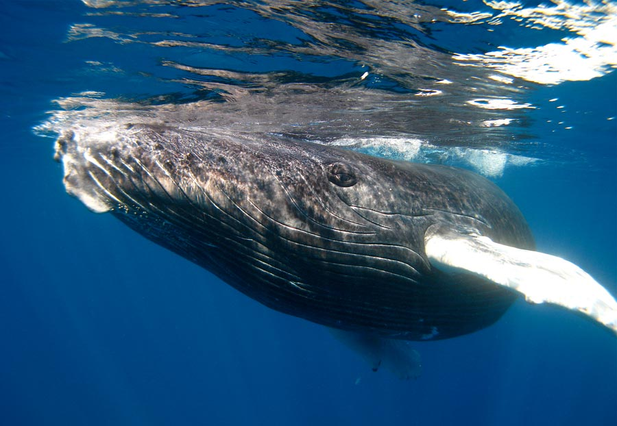 humpback whales The moment a 25-ton humpback whale pushed a snorkeller to safety from a 15ft tiger shark was captured on camera biologist nan hauser was swimming off the coast of rarotonga, in the cook islands, when the giant creature swam-in to prevent a potentially deadly attack she said the encounter may be.