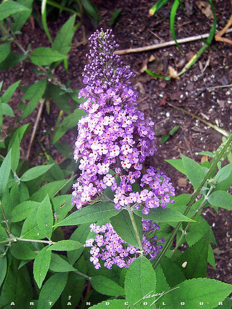 Nectar Centralu2014Juneu0027s Young Lavender Butterfly Bush (Buddleia) Is Doing  Really Well. It Has Quadrupled In Size Since She Planted It In May, And Is  About Two ...