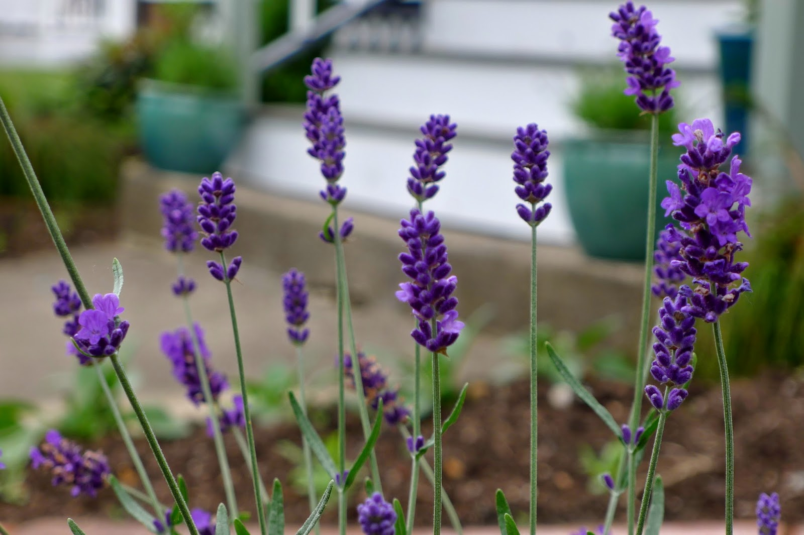Hidcote Lavender, Edible Flowers