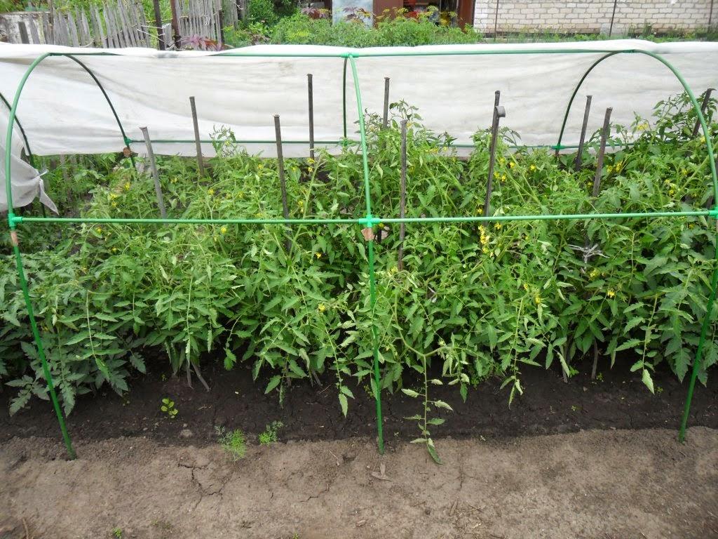 Детерминантные помидоры, Севрюга
