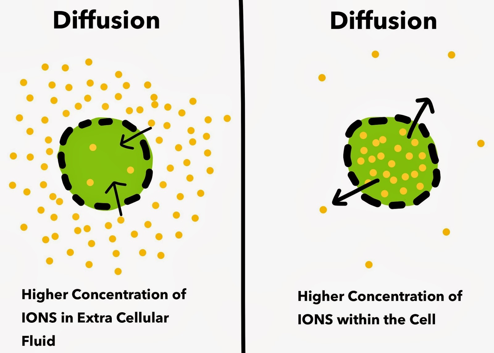Diffusion Heart Cell Membrane Potential