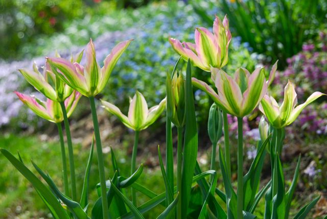 Tulip 'Virichic' in pots this week at Gilmore Gardens.