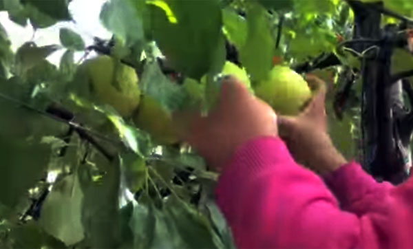 Agrowisata Petik Apel