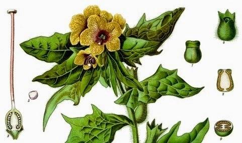 henbane Franz Eugen Köhler, Köhler's Medizinal-Pflanzen