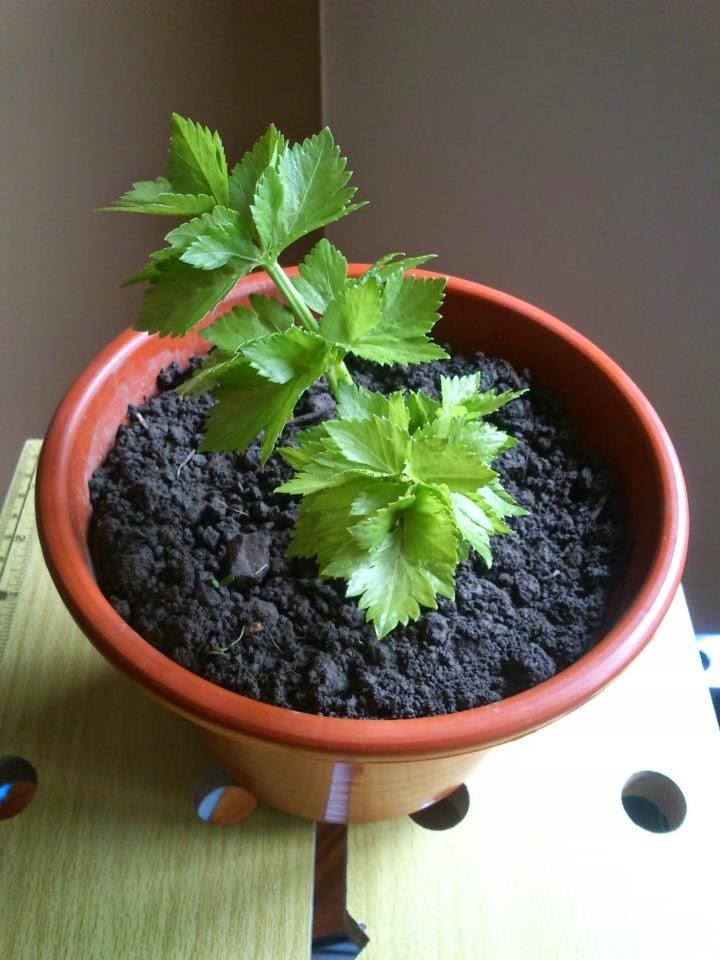 Como plantar apio