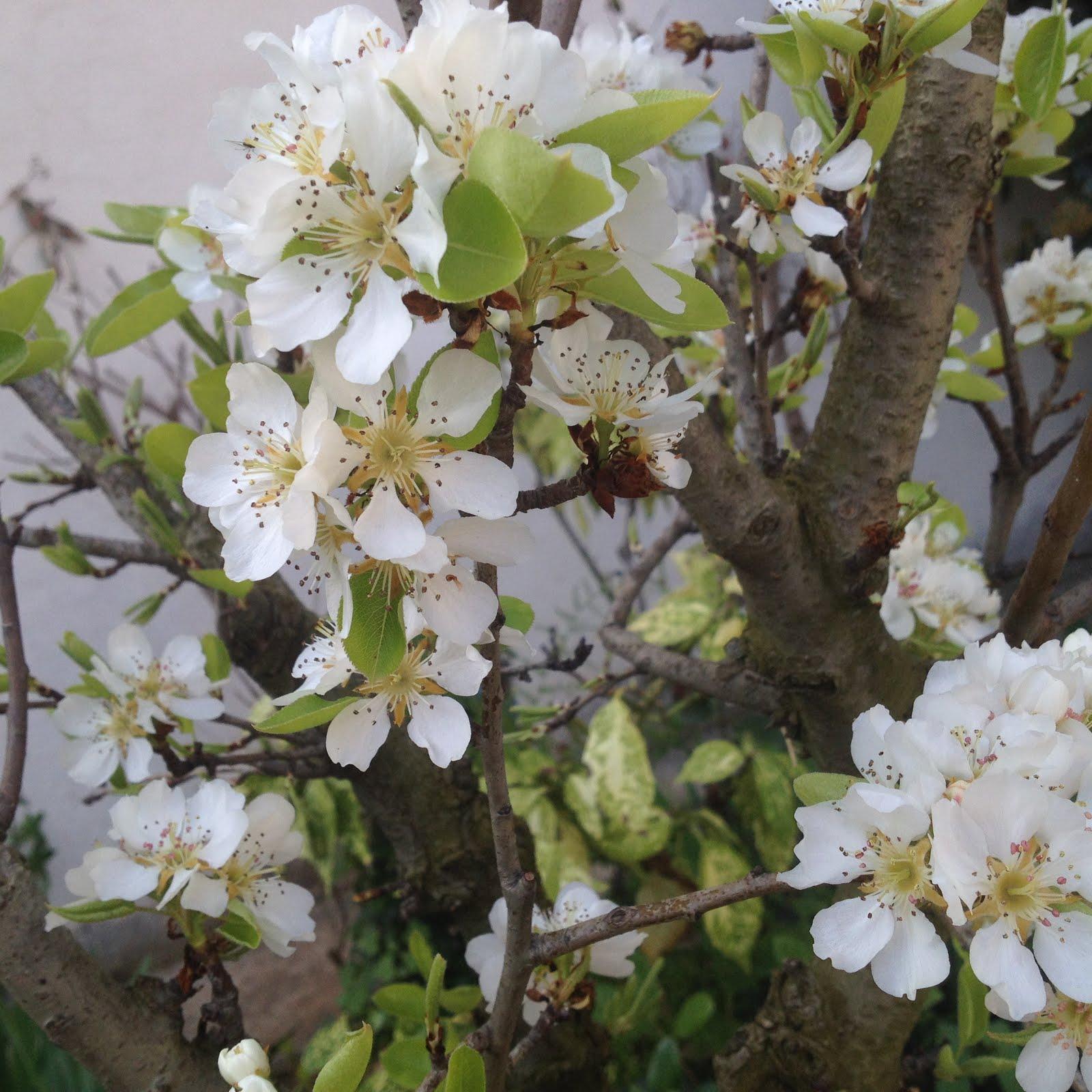 Poirier en fleurs