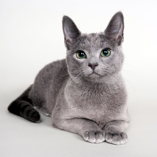 Kremlinkatz ada de caritates - russian blue cat by caritates cattery
