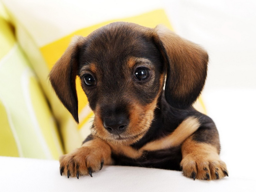 Small Dog Breeds With Curly Tails | myideasbedroom.com