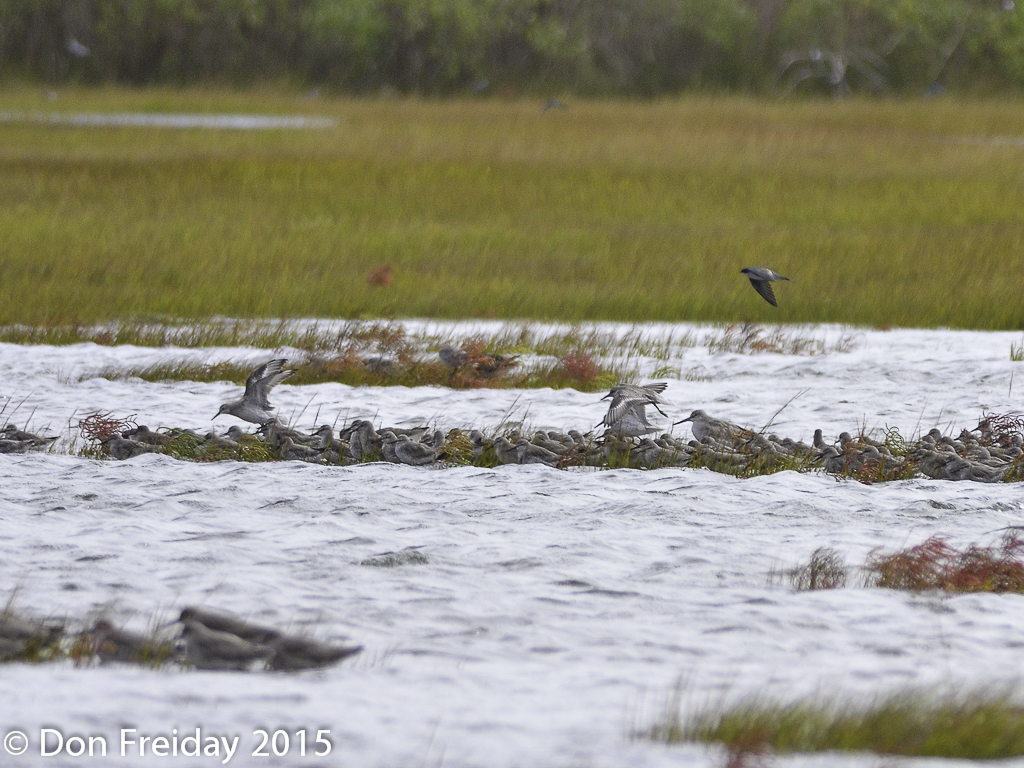 The freiday bird blog tides happen plus by the length of their as the tide rose the short legged birds the red knots there were 210 and dowitchers at least 2 long billed and 4 short billed became increasingly nvjuhfo Images