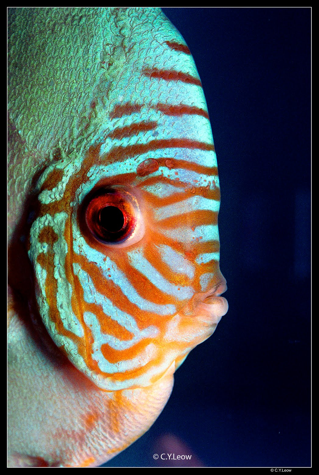 Discus what you need to know before keeping discus fish for Keeping discus fish