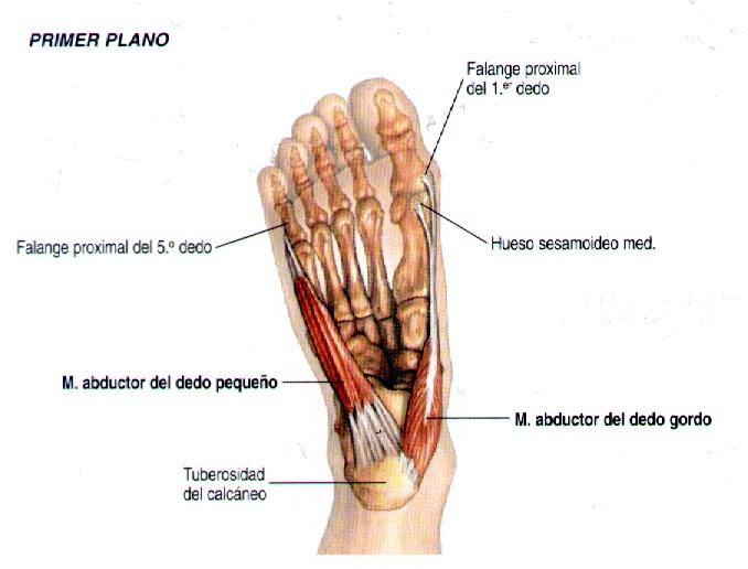 Excelente Poco Anatomía Del Dedo Del Pie Foto - Anatomía de Las ...