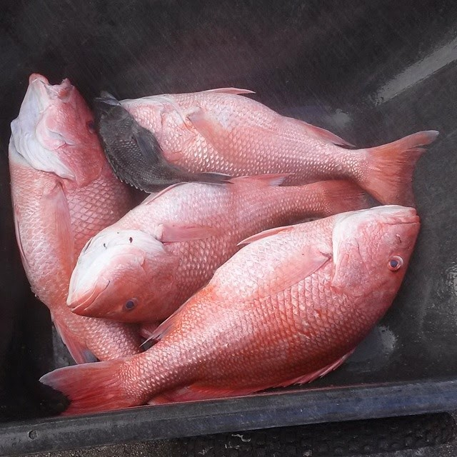 Red Snapper limit