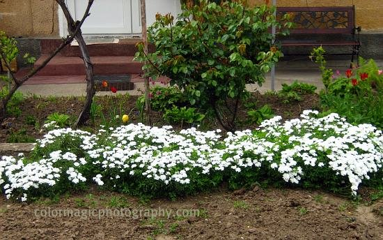 Iberis white-Edging Candytuft
