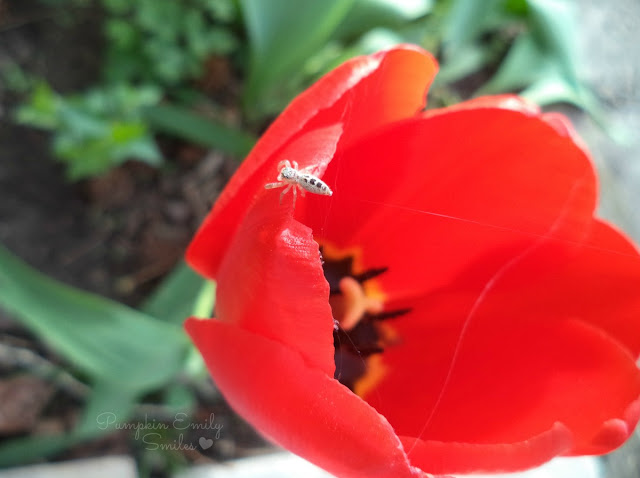 Spider making a web on a red Tulip
