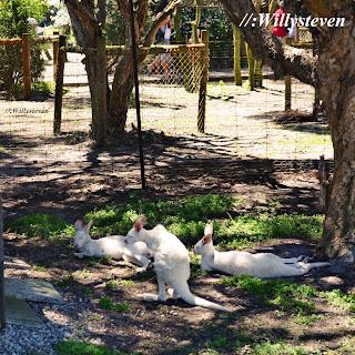 Kanguru Putih