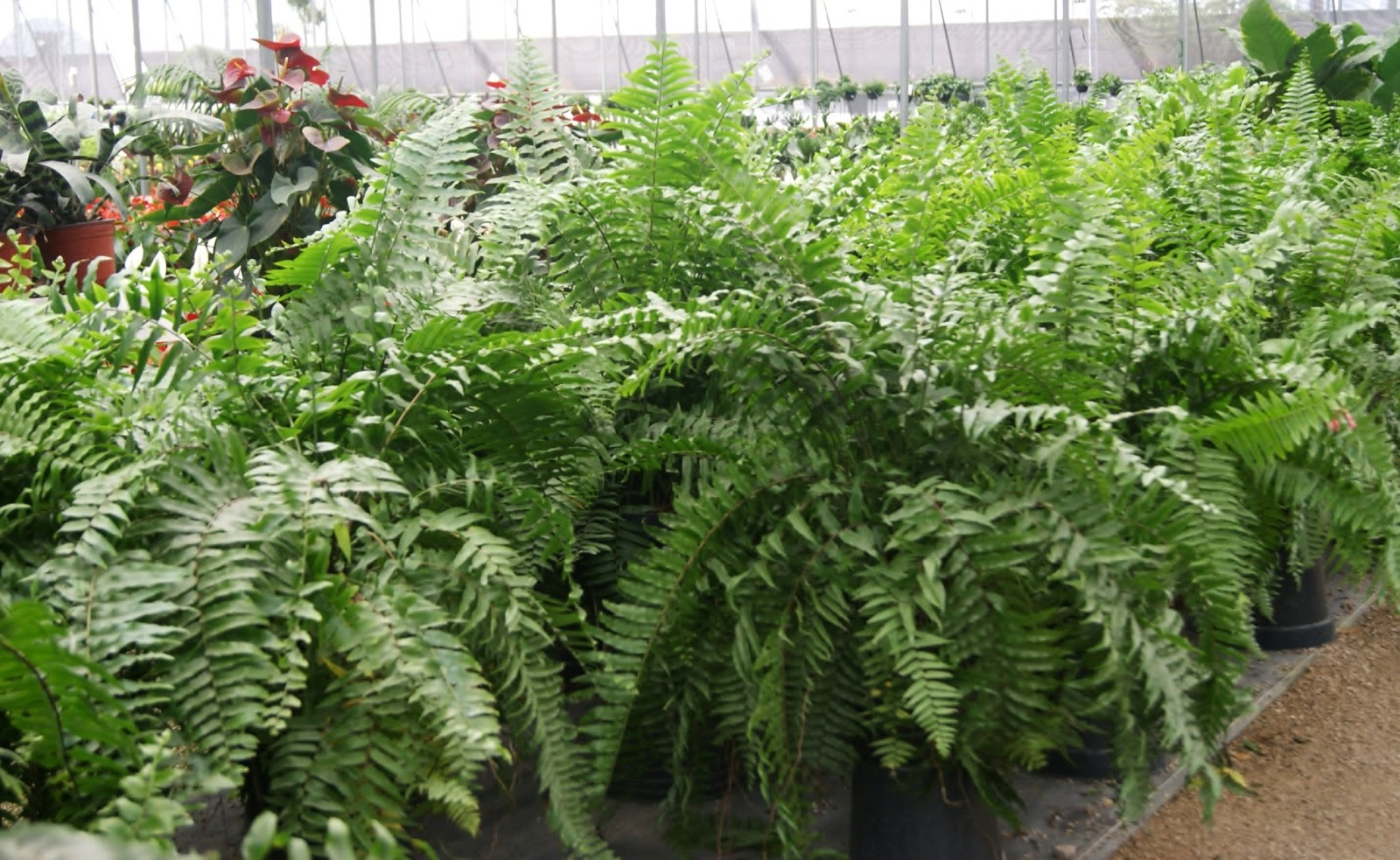 El cuexcomate abril 2013 for Plantas ornamentales helechos