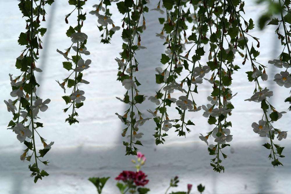 David Welch Winter Gardens - Duthie Park, Aberdeen. White hanging flowers.