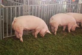 Que significa soñar con cerdos