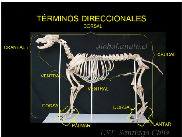 Enciclopedia de animales: Anatomia del gato. El esqueleto-on line