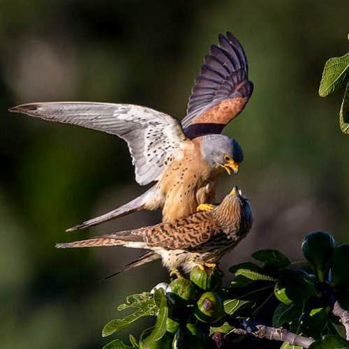 Indian birds - Image of Lesser kestrel - Falco naumanni