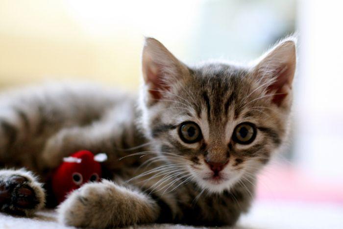 SÓ IMAGENS: As 20 raças de gatos mais bonitas