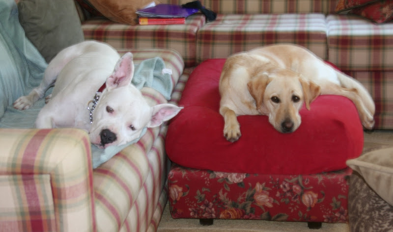 francie laying on the couch, looking at camera, while cabana lays a little distance away on her ottoman, both dogs look very relaxed