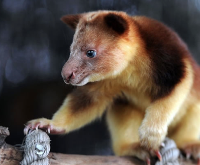 the goodfellows tree kangaroo is endemic to the island of new guinea papua new guinea only where it occurs in the mid montane areas of the central