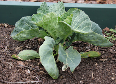 Collard Greens from the Garden