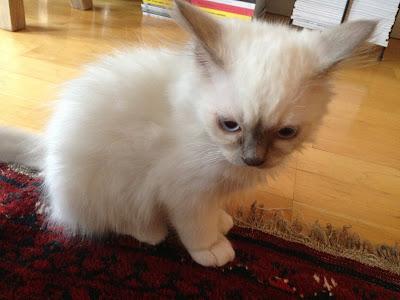 Marshmallow Electra kattunge kitten