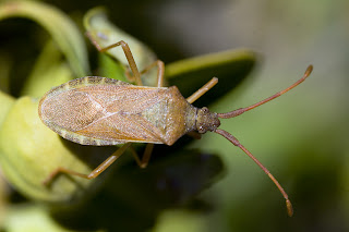Para ampliar Gonocerus acuteangulatus (Chinche del avellano) hacer clic