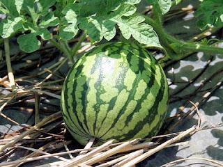pemeliharaan semangka