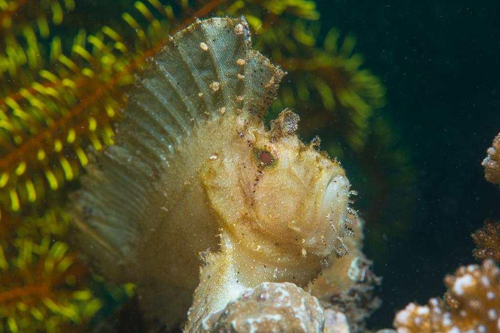 leaf scorpionfish-#25
