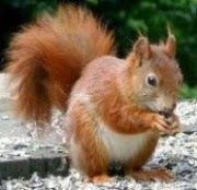*Eichhörnchen*