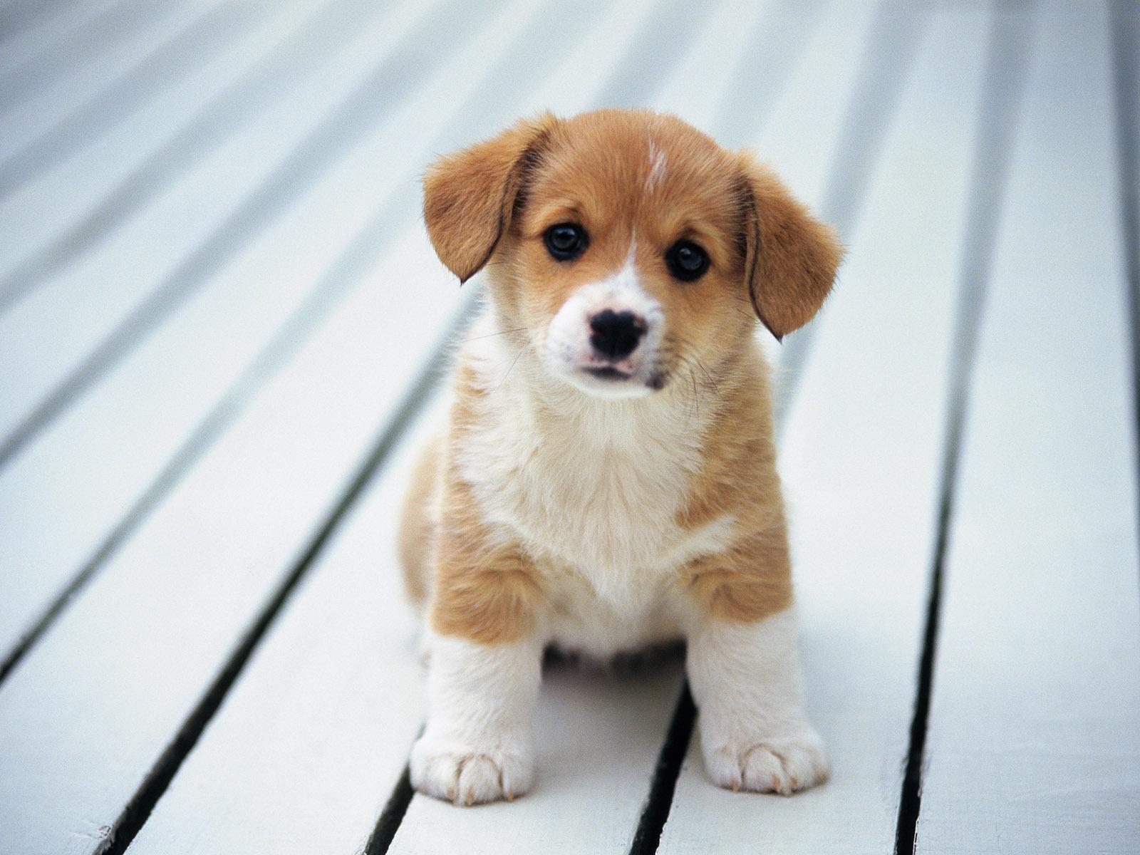 30 Gambar Anak Anjing Yang Lucu Lucu Dangstars