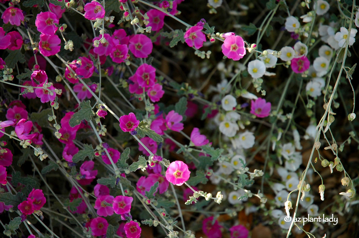 Drought Tolerant And Beautiful Globe Mallow Ramblings From A