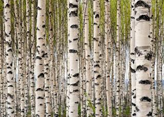 huş ağacının faydaları