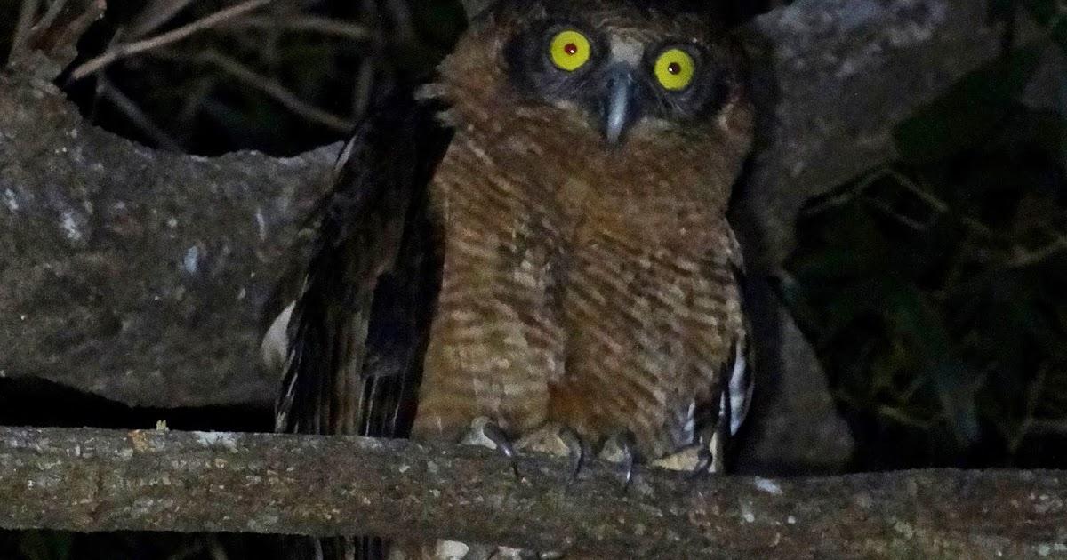 Rufous owl - photo#28
