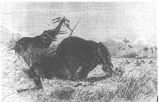 Imagenes de la caza del elefante