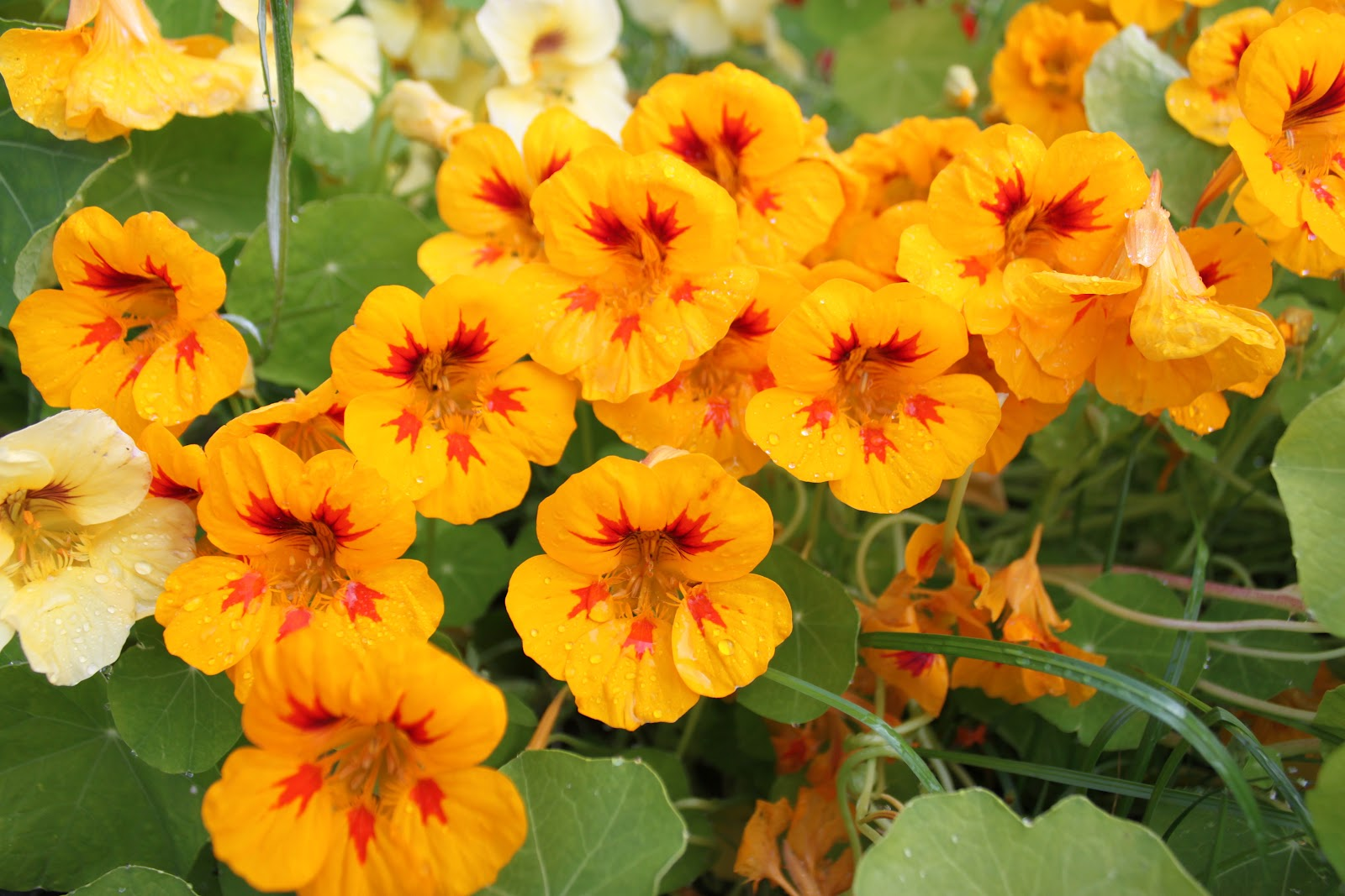 Edible Flowers in Alaska