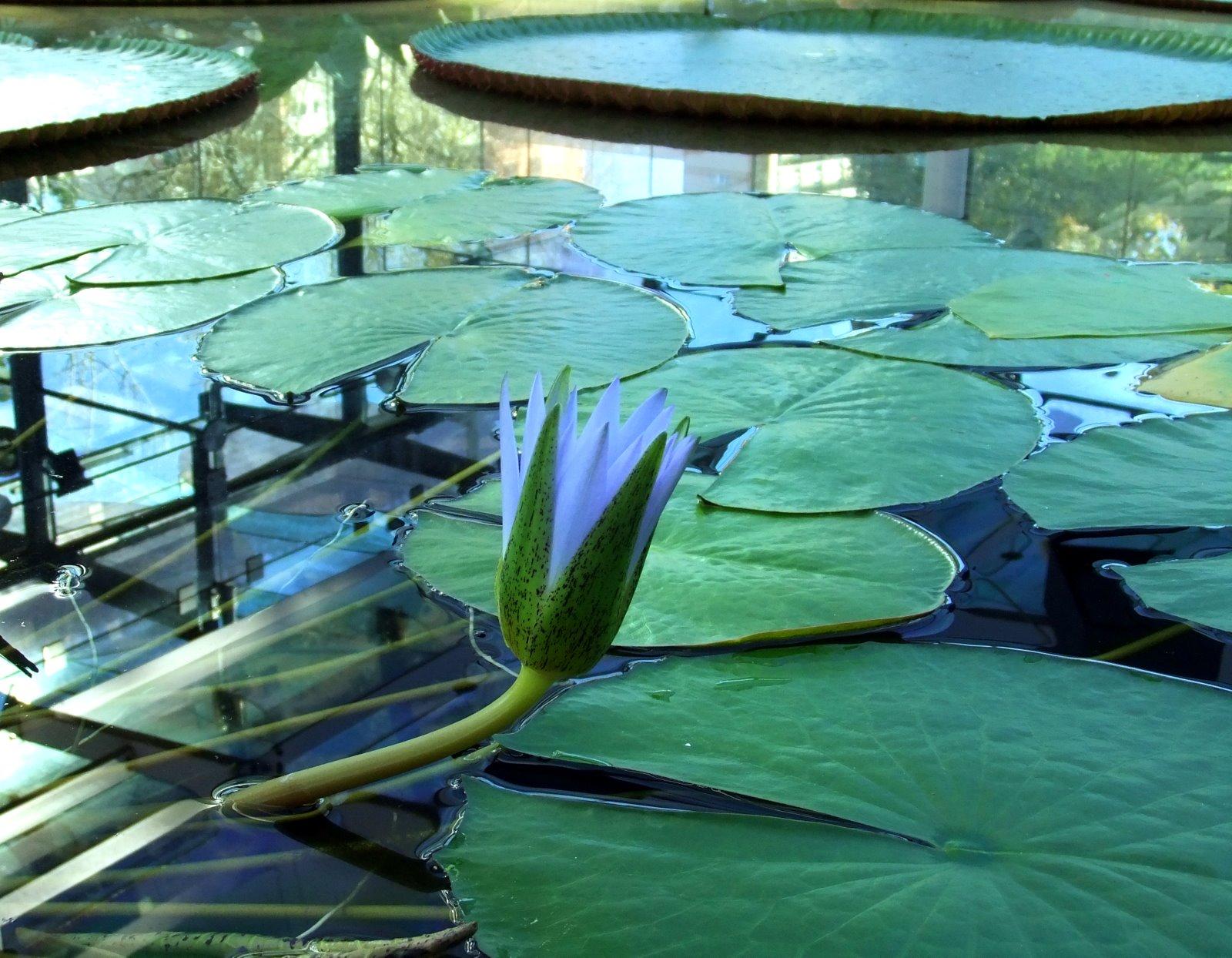 Adelaide And Beyond Egyptian Blue Lotus