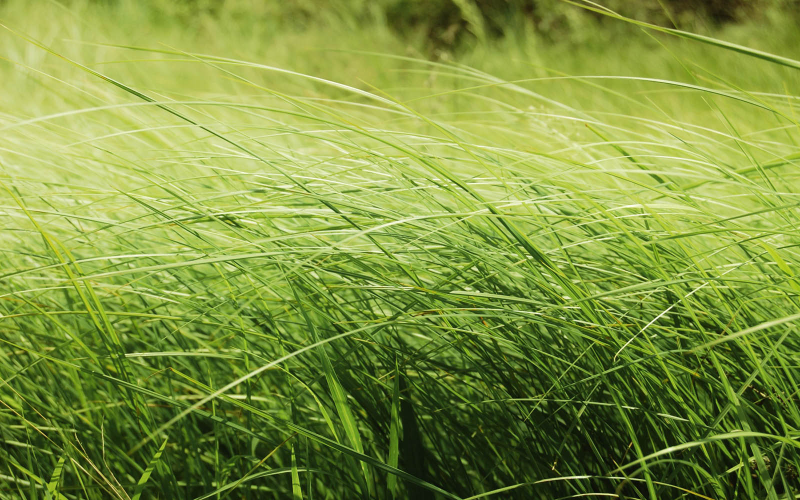 Wallpapers tall grass wallpapers for Tall ornamental grasses