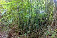 mencari buluh lemang