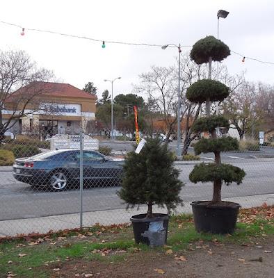 Christmas Trees in Lot in Paso Robles, © B. Radisavljevic