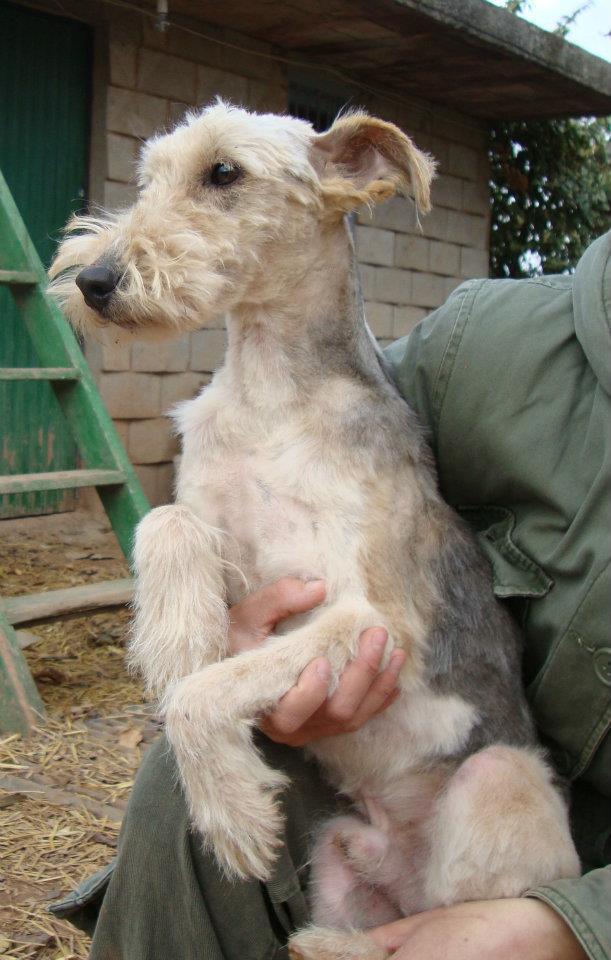 fox terrier, ayuda, adopta, acogida