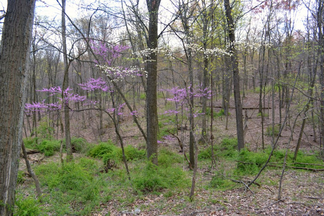 Redbuds and Dogwoods